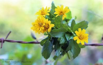 Japan sun flower