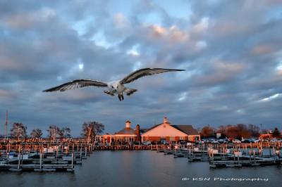 Sunset Seagull