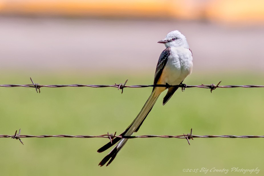 Scissor-tailed Flycatcher waiting patiently on his barbed-wire perch for the next meal to fly by.