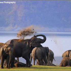 Clicked Near Ramganga River near Dhikala when this herd of elephants came there and started enjoying with Mud and water