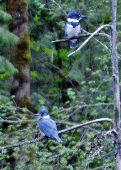 2 kingfishers in a tree with his and hers branches
