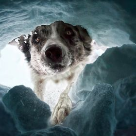 Border Collie in training for avalanche rescuedog in Melchsee Frutt, Switzerland.