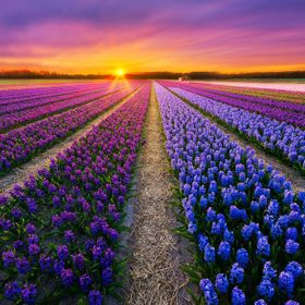 Purple  Flower season in the Netherlands     A7II, Samyang 14mm f2.8 @     www.albertdros.com  Facebook: Albert Dros Photography