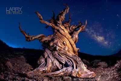 Ancient Dawning Bristlecone