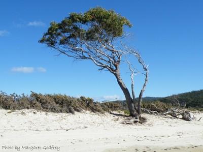 Lone tree on Rheban Beach, East Coast of Tasmania