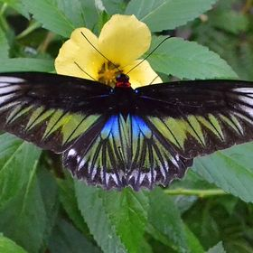 One of a series taken at Penang, Malaysia.  This is a very rare butterfly