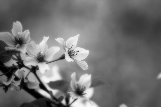 36 beautiful shots of black and white flowers enjoy the photo flowering tree by tricianicolescott black and white flowers photo contest mightylinksfo