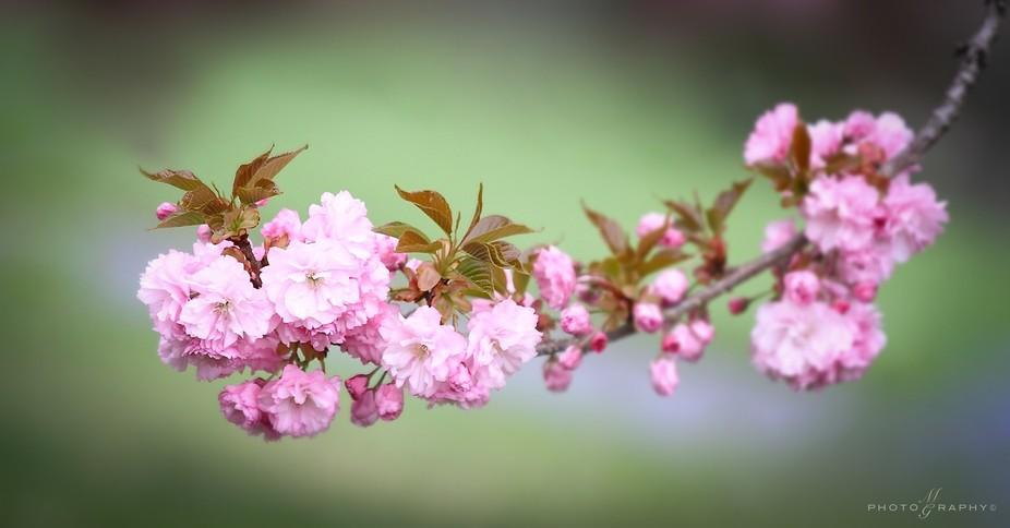 Cherry Blossom1