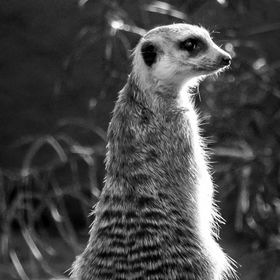 Suricata giving pose or watching me ?