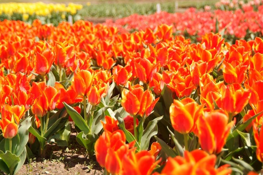Veldheer Tulip Gardens, Holland MI April, 2015