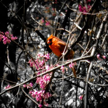 Red Bird in a Red Bud Tree