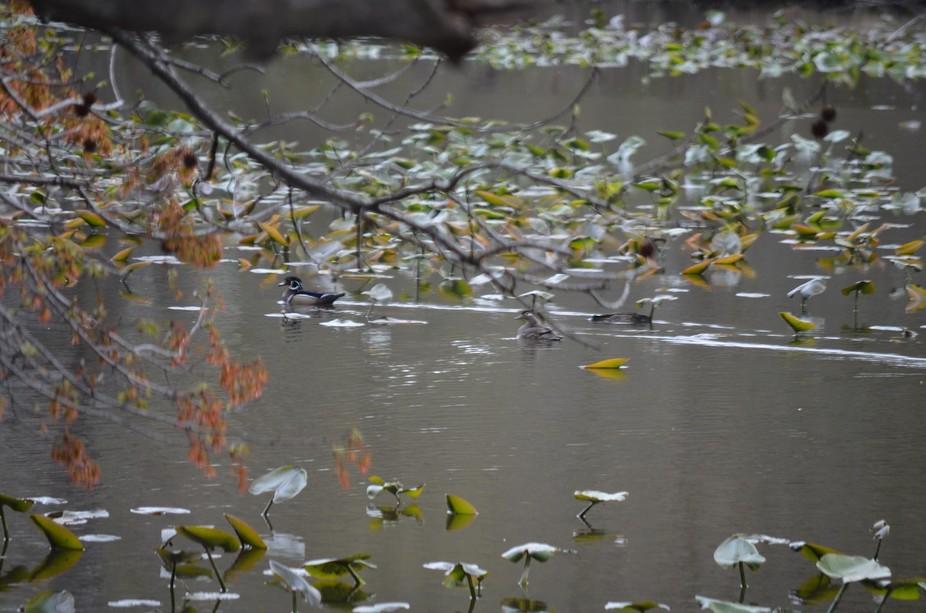 Wood Ducks on Silver Lake