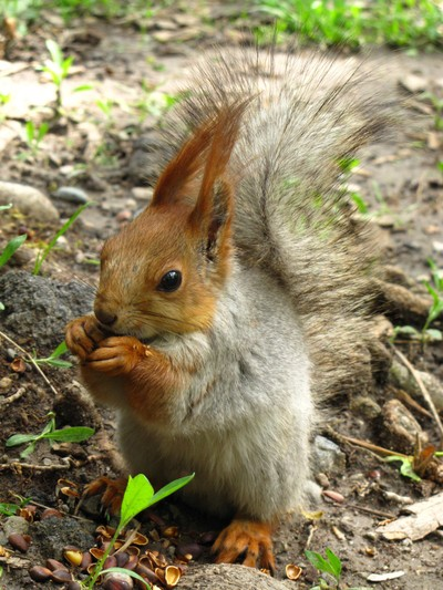 squirrel is eating pine nuts
