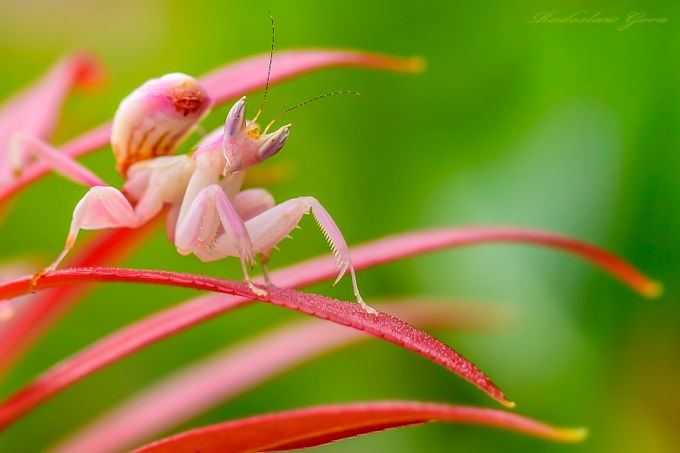 Pinky by radekgora - Can You See Me Photo Contest