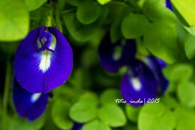blue flower indonesia