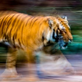 Running together, panned tiger