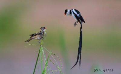 Pin tailed Whydah male attracting female