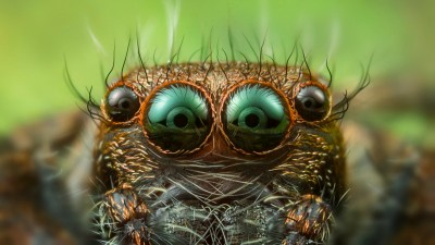 Eyes of jumping spider