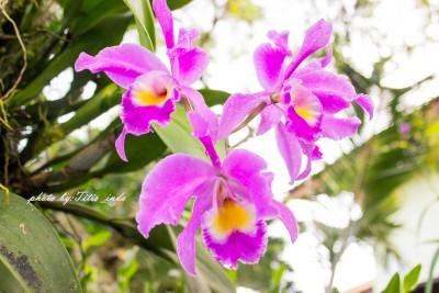 anggrek flower