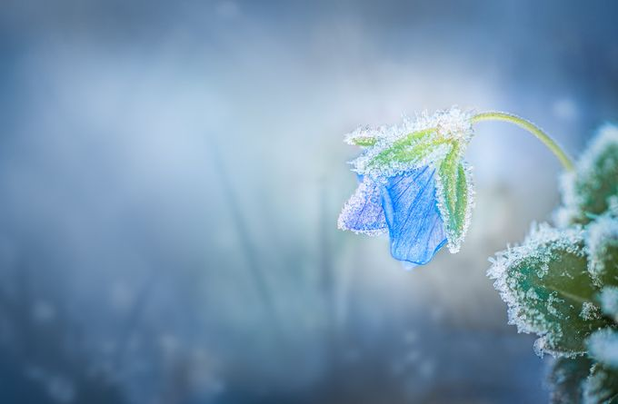 Iced-Flower by Marcogressler - The Beauty Of Nature Photo Contest