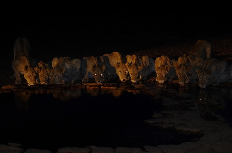 these nine lions came into our camp\'s watering home for an evening drink before a hunt.