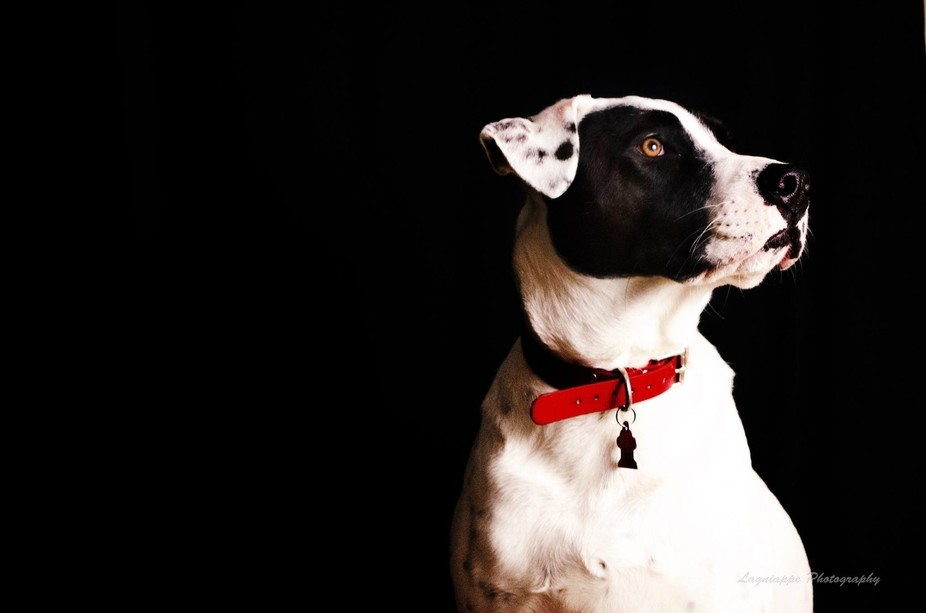 Our PTSD service dog. Pitt Bull mix