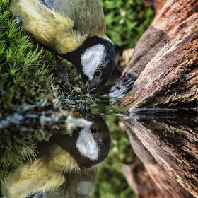 A thirsty Great Tit comes to the pool for some refreshment creating a copy of itself in the cool water.  Click on picture to see on dark background.