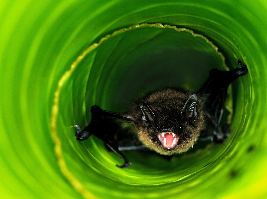 Banana Bats are very small and hide in rolled-up leafs of Wild Stralitzia\'s or banana trees. I fo...