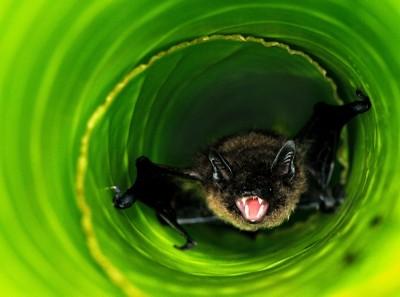 Angry banana bat - HLouw