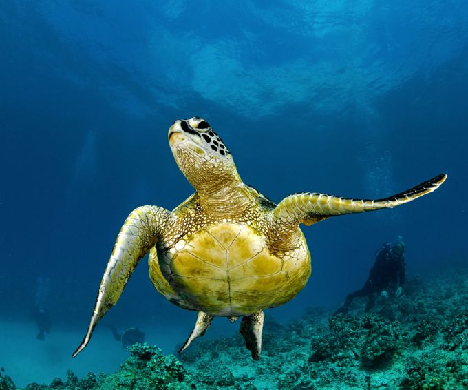 Honu pose by markmahler - Animals And Rule Of Thirds Photo Contest