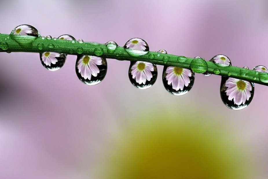 Water drops cling to the grass and act as lenses, bringing into focus the daisy behind. No image ...