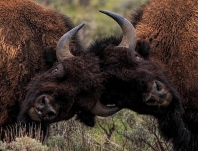 Bison Challenge