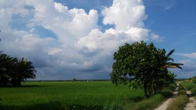 Paddy field, Sekinchan Malaysia
