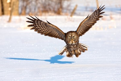 Great Grey Owl incoming