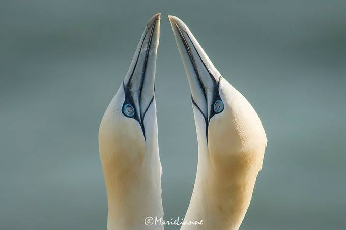 Gannets Billing by MarieLianne68 - Rule Of Seconds Photo Contest vol1