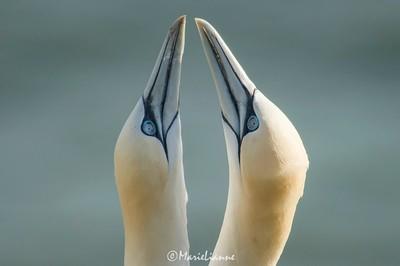 Gannets Billing
