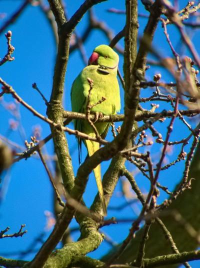 Rose-ringed parakeet in profile