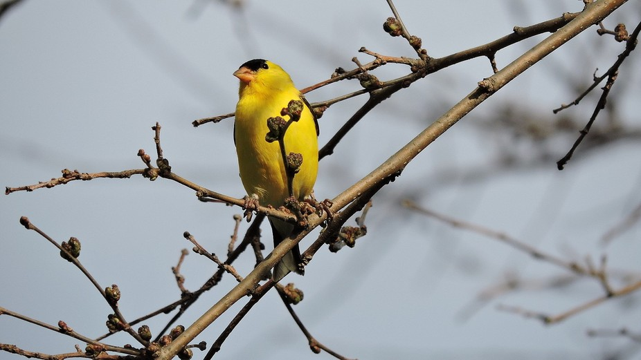 A Gold Finch in living color.