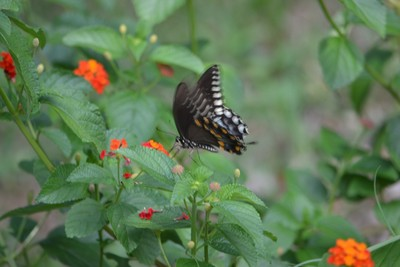 Butterfly in Repose II