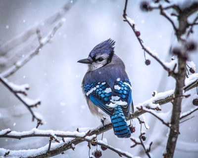 Bluejay in snow