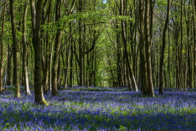 Bluebells by RichardBarnwell - Divine Forests Photo Contest