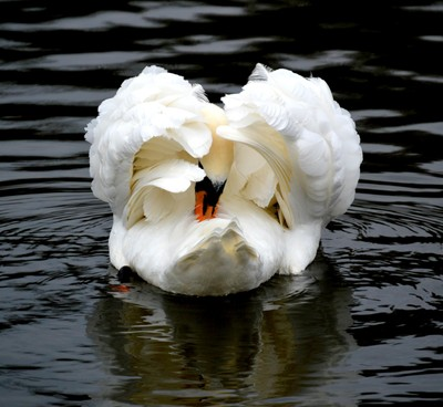 Swanbrella