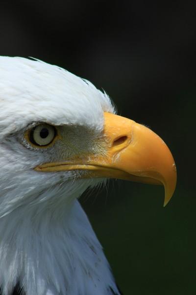 Beak and Eye of an Eagle