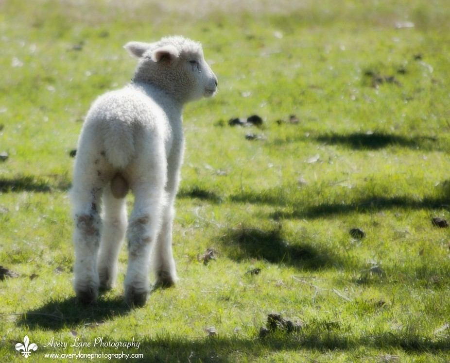 One of the Leicester lamb triplets born in Colonial Williamsburg, VA