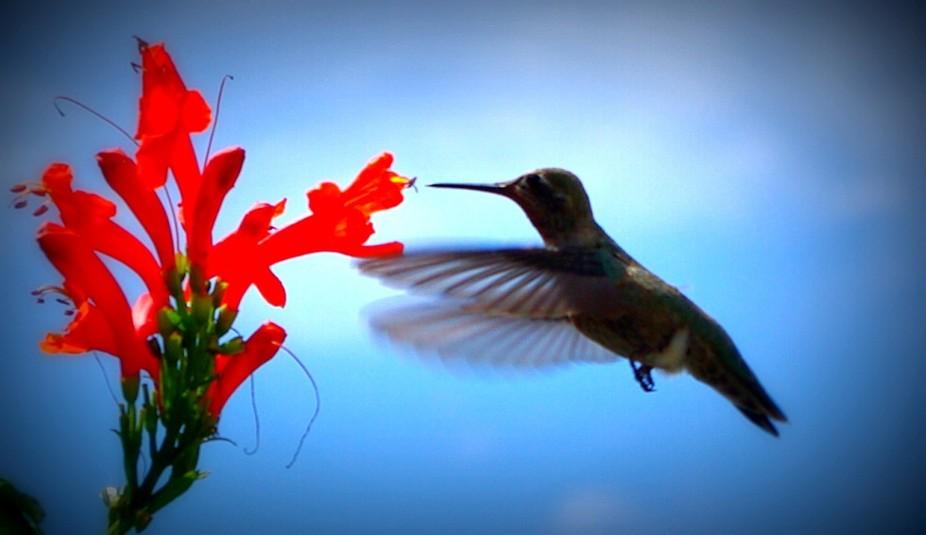 Hummingbird in flight feeding.  Awesome still shot.
