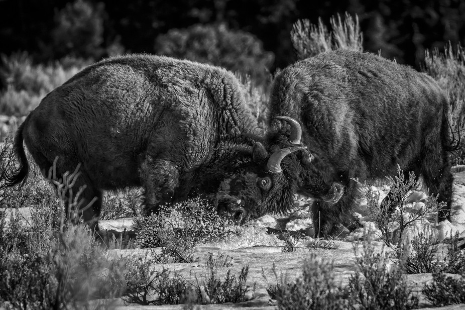 Bison bulls sparring-Yellowstone NP = B&W-1-2