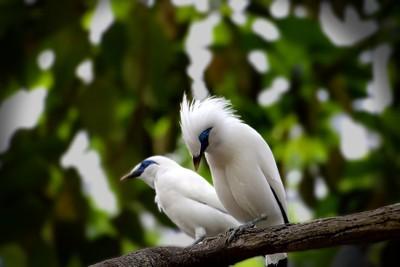 Blue-eyed Birds