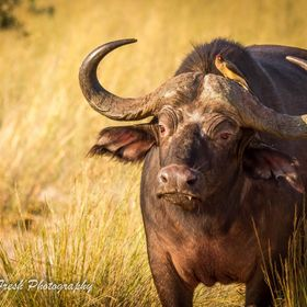 Buffalo and Ocpecke in Mahango National Park Namibia!