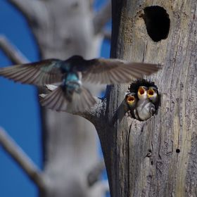 Three tree swallow babies impatiently waiting for their mother to bring food. I spot this tree swallow family at Yellowstone national park and im...