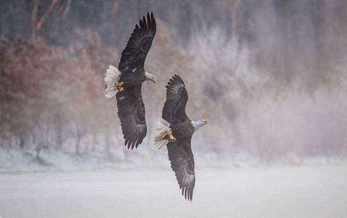 Eagles Battle by kellymarquardt - Just Eagles Photo Contest